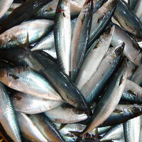 Frozen Pacific Mackerel Fish