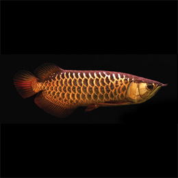 High Back Arowana