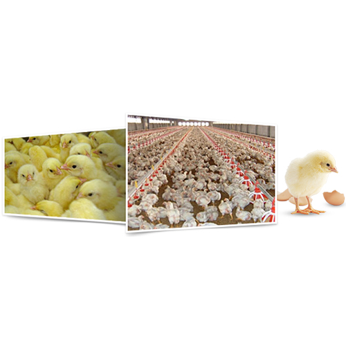 Breed: Livestock - Broiler Chick and Layer Chick