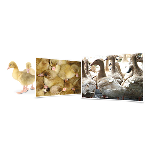 Breed: Livestock - Meat-Type Baby Duck and Baby Duck Layer