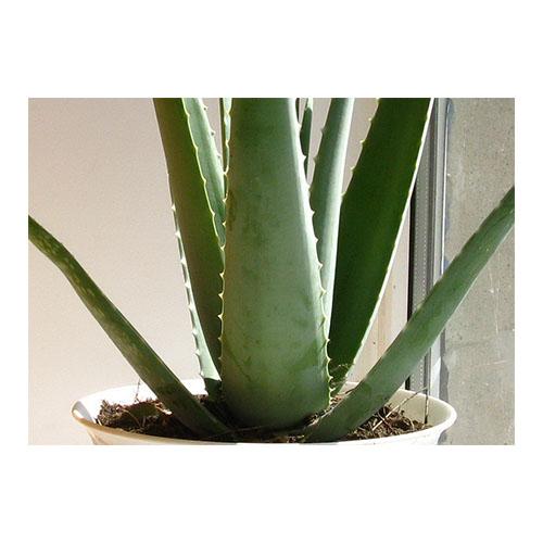 Berberine Aloe Vera Gel Freeze Dried Powder