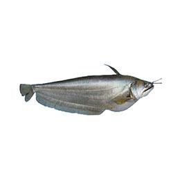 Boal (Wallago Attu)
