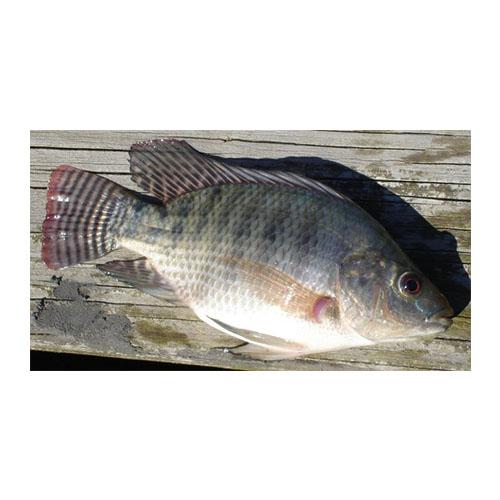 Tilapia (Oreochromis Niloticus, Talipia Nilotica)