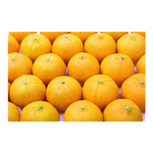 Merck Neck Orange Mandarins Australia