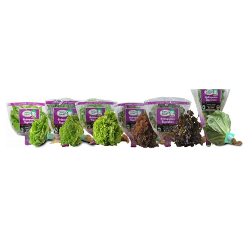 Hydroponics Lettuces