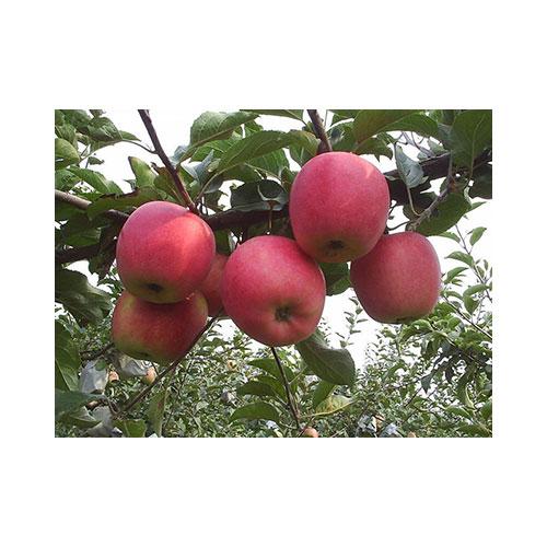 Fresh Qinguan Apple