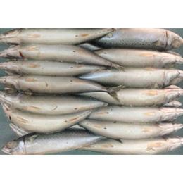 Frozen whole round pacific mackerel