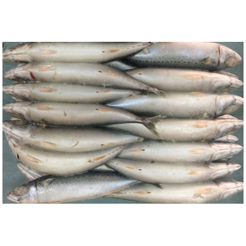 Frozen whole round pacific mackerel