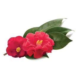 Camellia Japonica Seed Extract Cd25