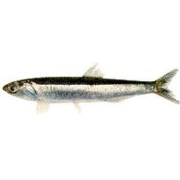 Anchovies (Engraulis anchoita)