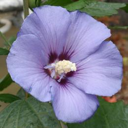Hibiscus Syriacus 'Blue Satin