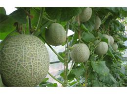 Shizuoka Prefecture Of Greenhouse Melons